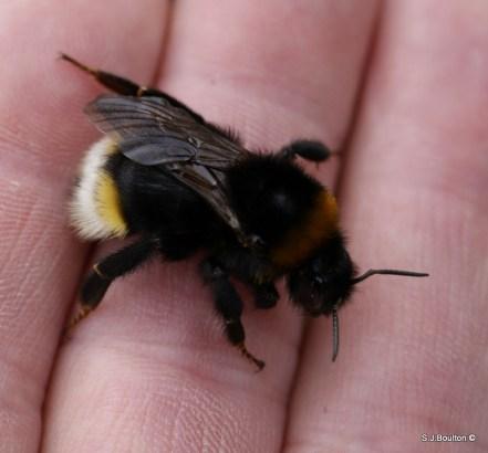 Bombus vistalis (southern cuckoo bumblebee)