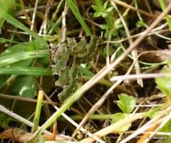 Green Carpet Moth-Colostygia pectinataria