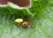 Araniella sp, cucumber spider