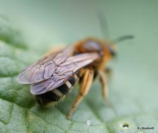 Lasioglossum xanthopus