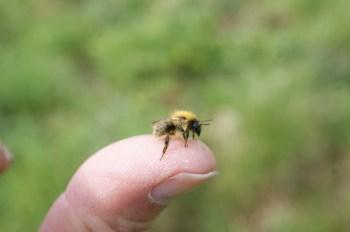 Tiny Bombus pascuorum worker