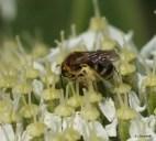 lasioglossum laevigatum