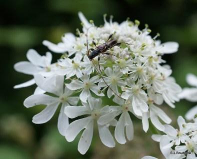 Glaphyra umbellatarum longhorn