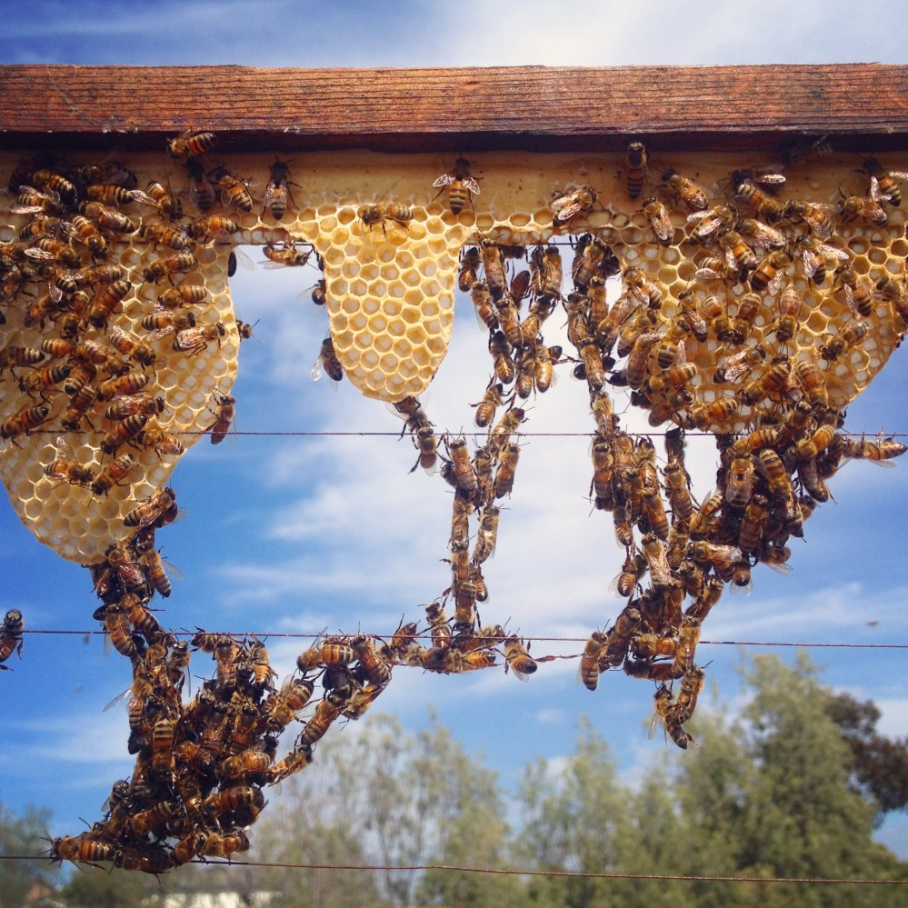 medium resolution of how to foundationless beekeeping in a langstroth hive