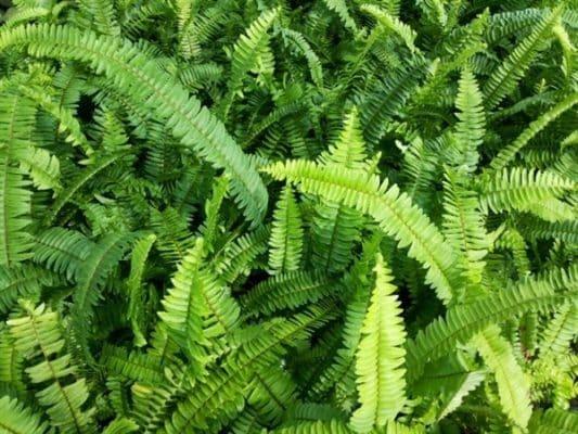 เฟิร์นพืชที่ปลูกง่ายไม่ยากอย่างที่คิด สำหรับคนเพิ่งเริ่มปลูกต้นไม้ 3