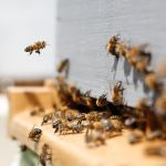Bees swarming around the entrance to their hive