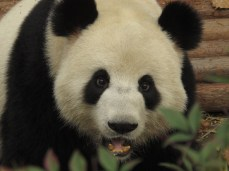 19 - Chengdu - Giant panda breeding center