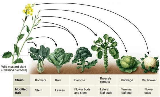 mustard along with cousins horseradish and wasabi are part of the cabbage family