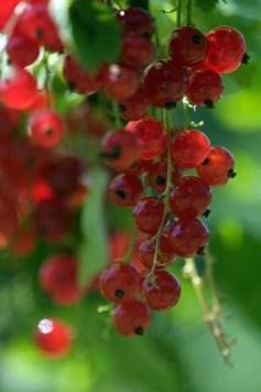Die roten Johannisbeeren