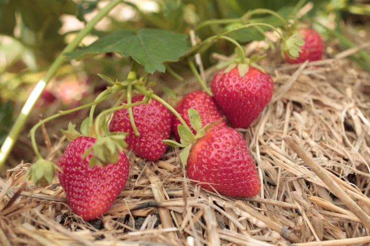 Erdbeeren im Beerengarten Rothschwaige