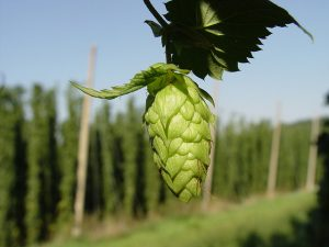 Hop umbel by The mad Penguin on flickr (CC BY-SA 2.0)