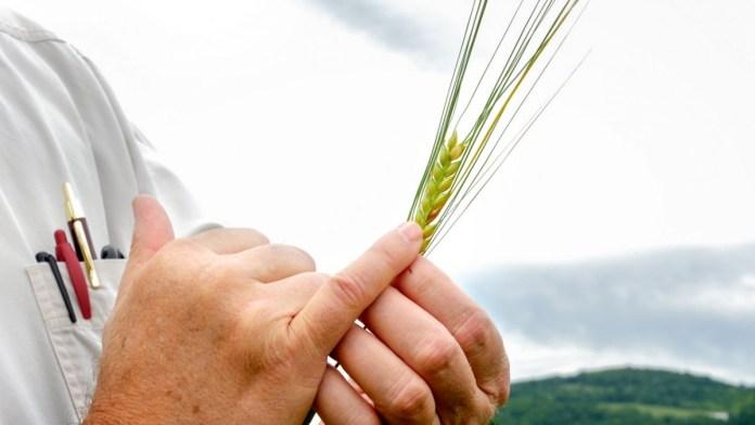 New York Grain By Cornell University