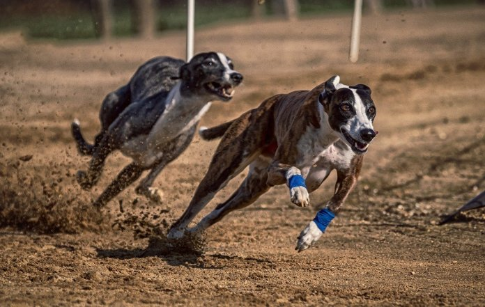 Greyhound racing has a long tradition in the South.
