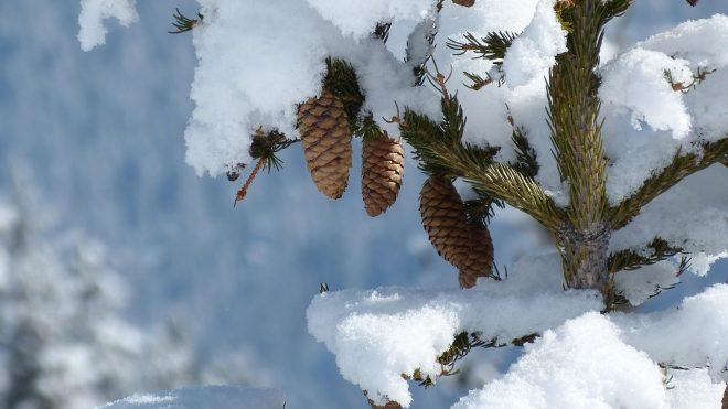 Tannenzapfen im Schnee