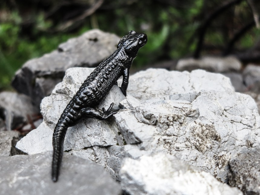 Alpine Salamander Arosa