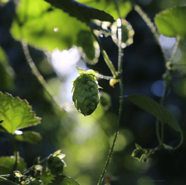 AB InBev South African Hops