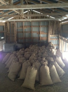 Aged hops in burlap bags in the attic of the barn