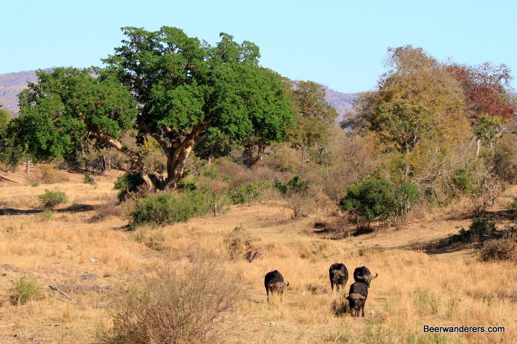 kruger_water_buffalo_landscape