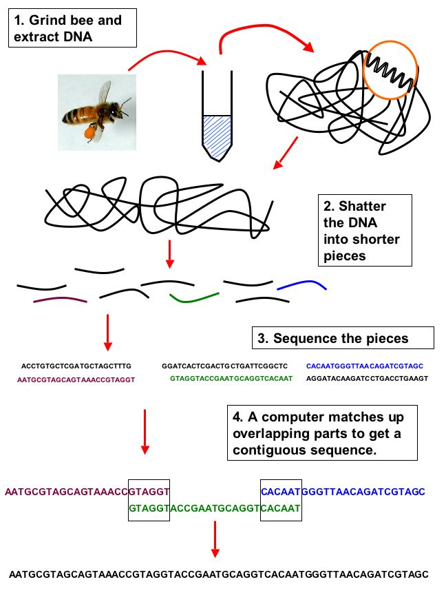 diagram of a queen bee home ac thermostat wiring honey genome, beespotter, university illinois