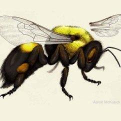 Hornet Anatomy Diagram Cat6e Wiring Bee Mimics Beespotter University Of Illinois Identifying Bumble Bees And Honey