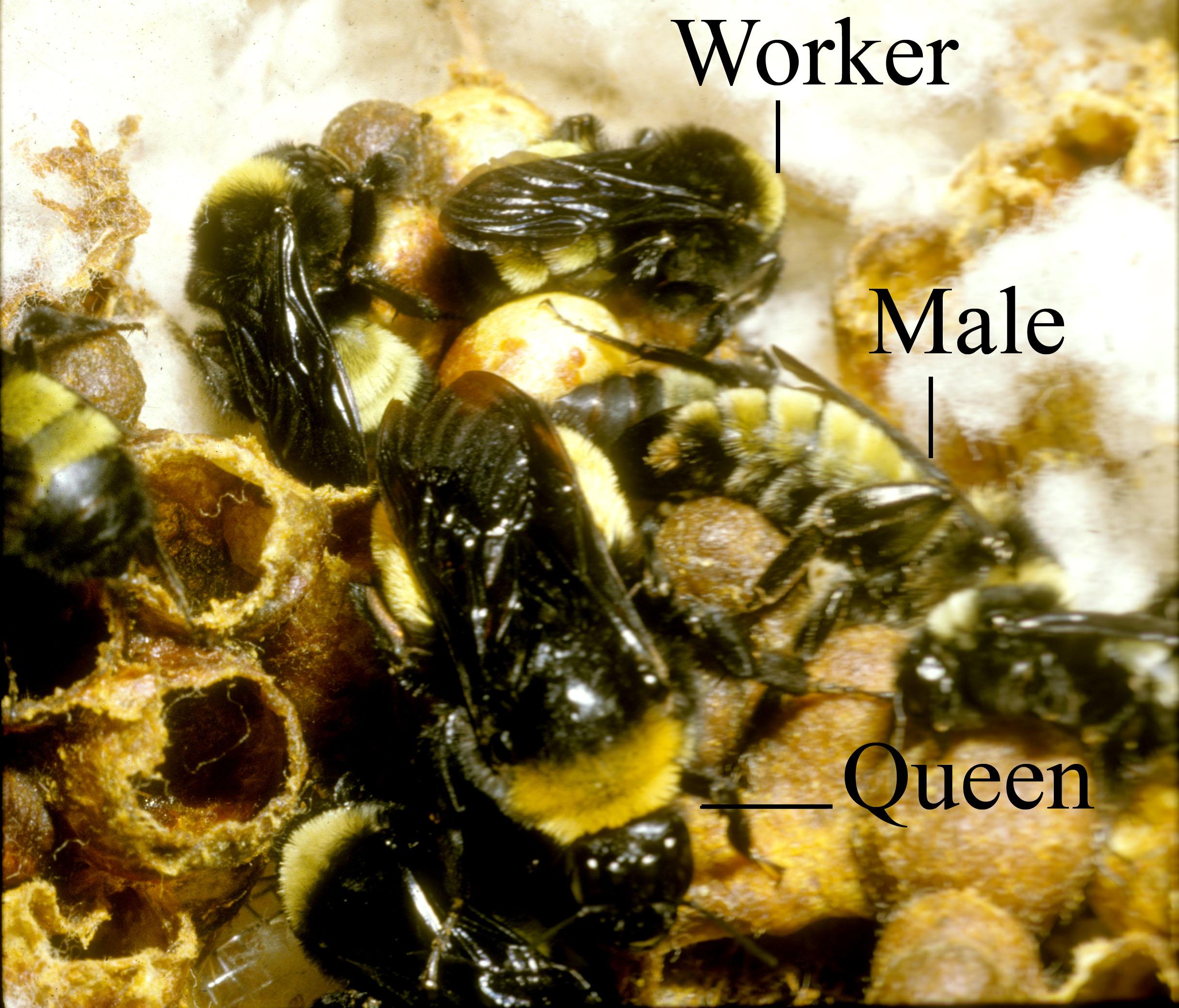 diagram of a queen bee 6 pin to 7 trailer wiring social behavior beespotter university illinois