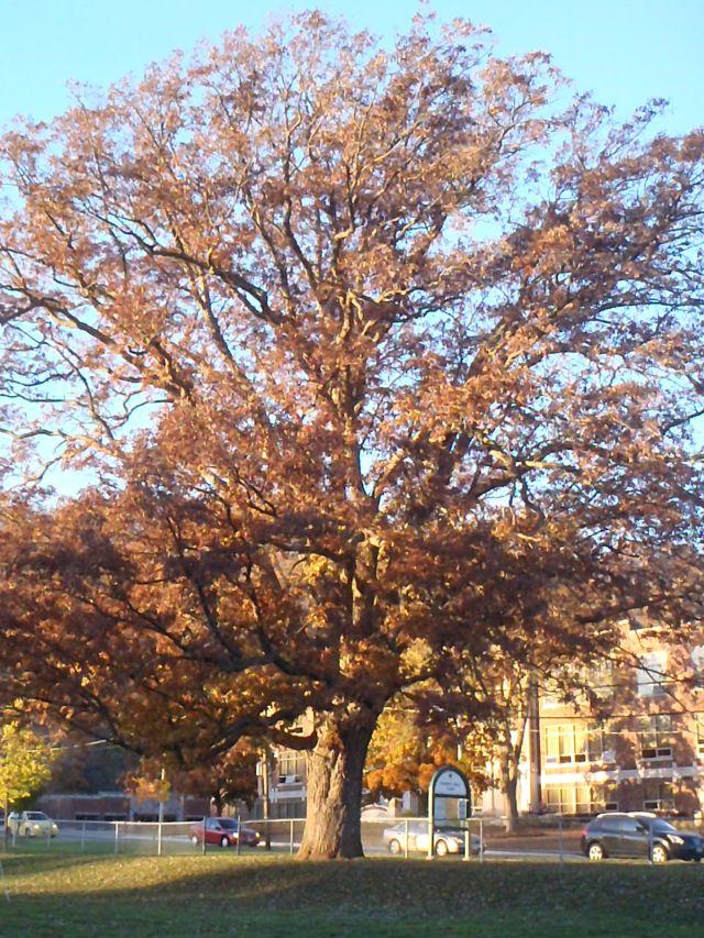 Chinquapin Oak