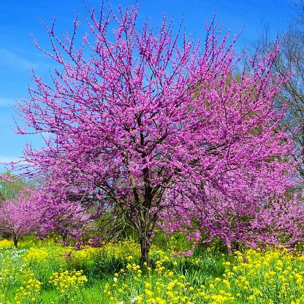 Mature Redbud in Bloom
