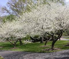 Serviceberry Trees in Bloom