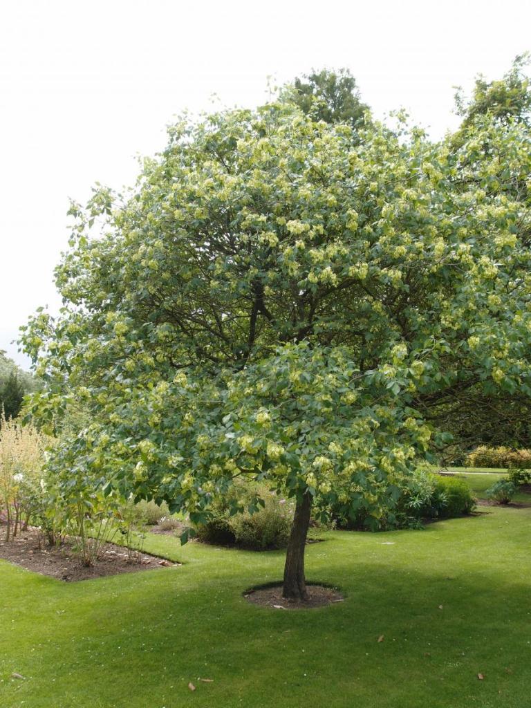 Mature Hop Tree in bloom