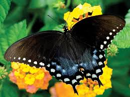 Spicebush Swallowtail Butterfly