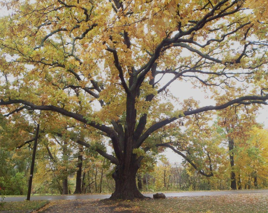 War of 1812 Treaty Tree