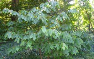 Pawpaw Tree