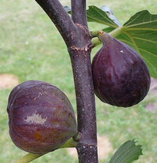 Chicago Fig Fruit