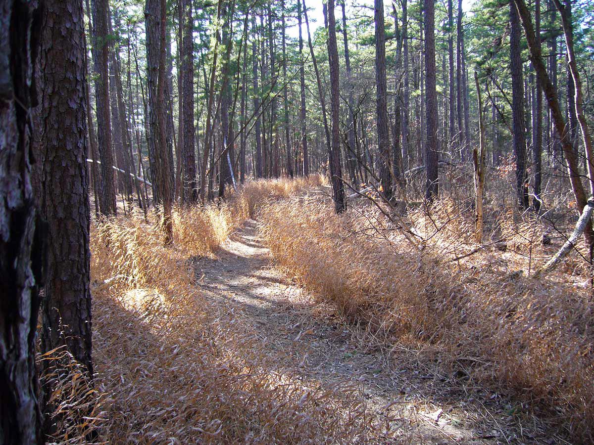 trail through pine savanna
