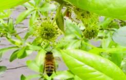 tupelo bloom2