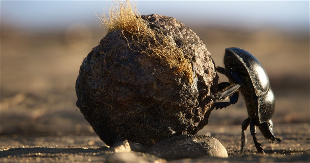 In appreciation of 'The Lion King's' true star: the dung beetle
