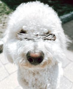 white fluffy doodle breed dog with large beef liver strip resting on their nose