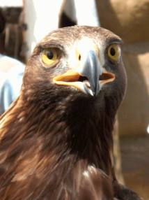 Adler (eagle) Krafttier