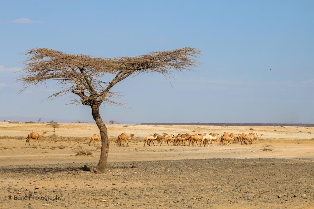 Maikona, Camel Caravan