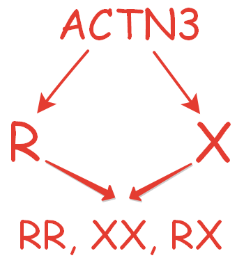 actn3 ген