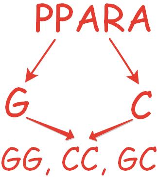 ppara ген