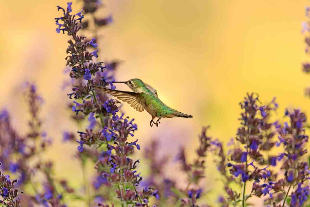 photo of green hummingbird taking nectar from purple flowers against a yellow backdrop