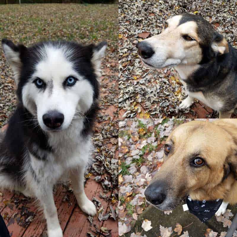 three dog collage