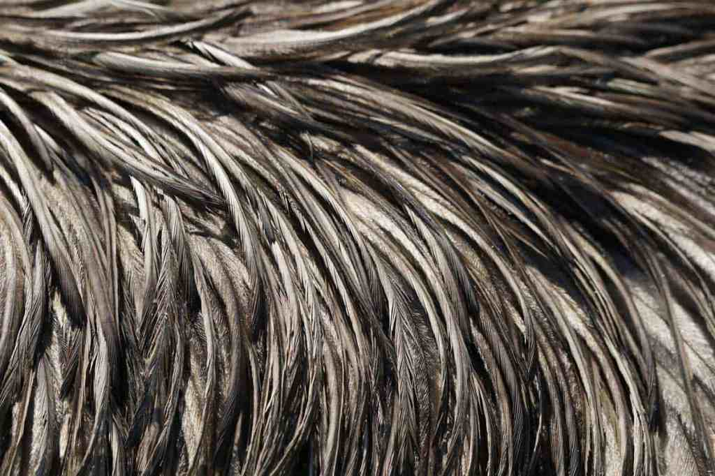 In this closeup of emu feathers you can see how soft and hair-like they are in appearance.