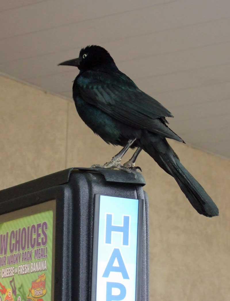 black bird perched on top of a drive in ordering menu board