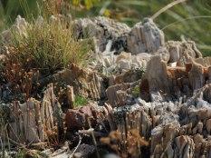 Petrified Stump