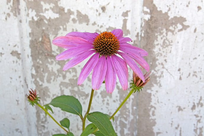 single-cone-flower-1013tm-pic-977