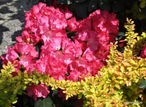 Rhododendron yakushimanum und Goldberberitze