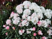 Rhododendron Koichiro Wada FCC