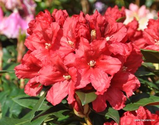 Rhododendron Rabatz
